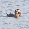 Ruddy Ducks <br /> North Dakota