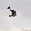 Swainson's Hawk and Red-winged Blackbird <br /> North Dakota