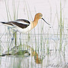 American Avocet <br /> North Dakota