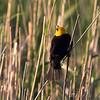 Yellow-headed Blackbird<br /> North Dakota