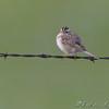 Clay-colored Sparrow <br /> North Dakota