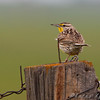 Western Meadowlark <br /> North Dakota