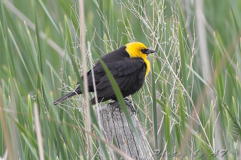 Yellow-headed Blackbird <br /> North Dakota