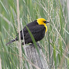 Yellow-headed Blackbird <br /> North Dakota