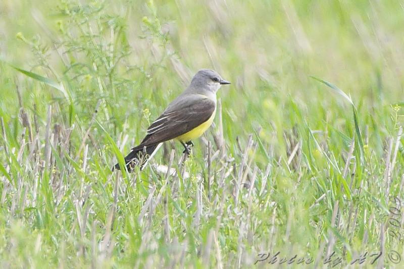 Western Kingbird <br /> North Dakota