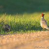 Ring-necked Pheasant <br /> North Dakota