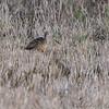Marbled Godwit <br /> North Dakota