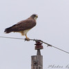 Swainson's Hawk  <br /> North Dakota