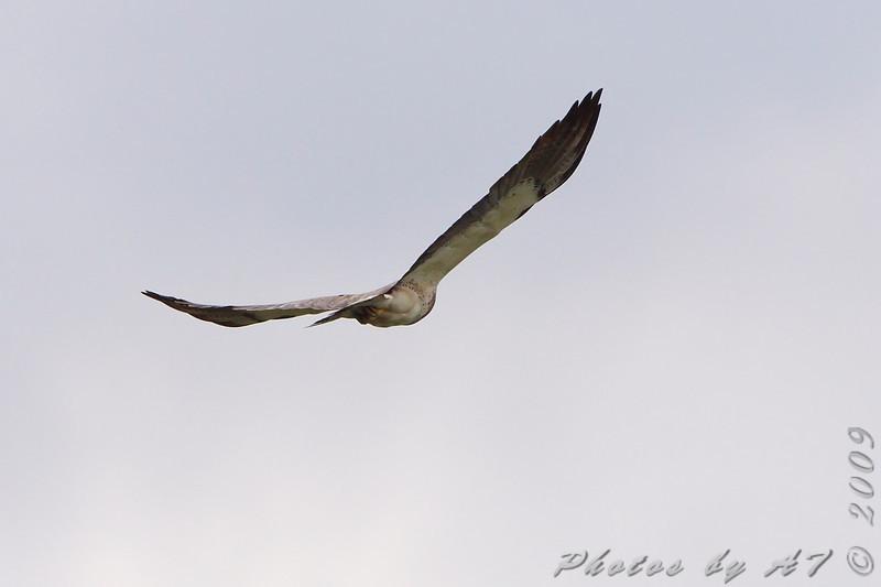 Swainson's Hawk <br /> North Dakota