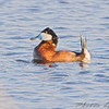 Ruddy Duck <br /> North Dakota