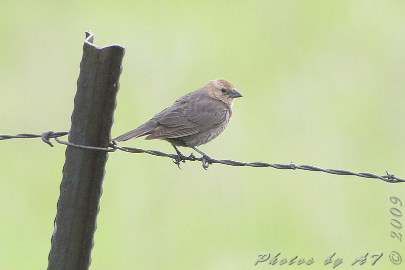 Brown-headed Cowbird <br /> North Dakota