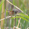 Marsh Wren <br /> North Dakota