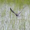 Black Tern <br /> North Dakota