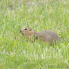 Prairie Dog <br /> North Dakota