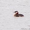 Red-necked Grebe <br /> North Dakota