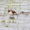 Wilson's Phalarope <br /> North Dakota
