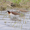 Wilson's Phalarope and ??<br /> North Dakota