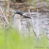 Black-crowned Night-Heron <br /> North Dakota