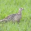 Ring-necked Pheasant <br /> North Dakota