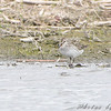 Least Sandpiper <br /> North Dakota