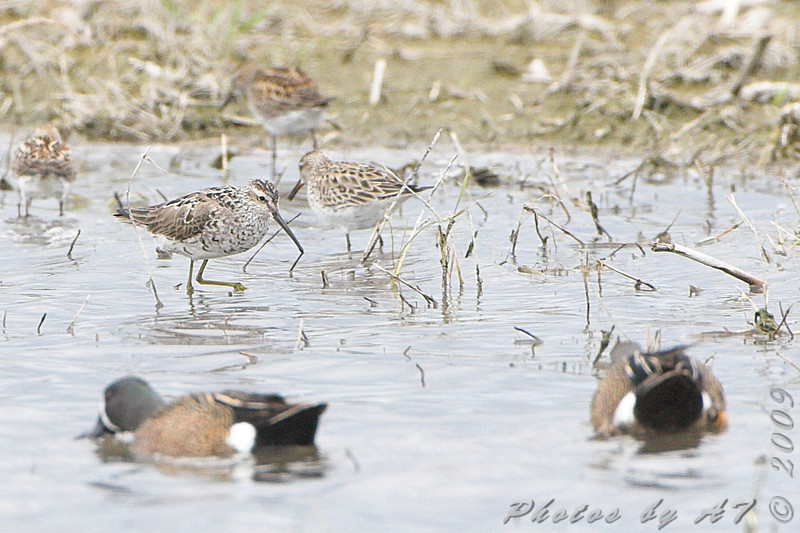 Stilt Sandpiper and ?? peeps and Blue-winged Teal <br /> North Dakota