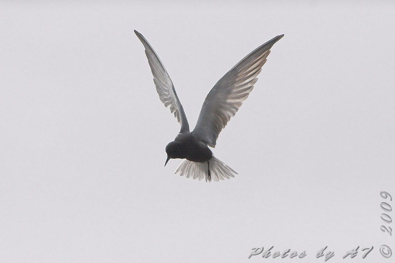 Black Tern <br /> North Dakota
