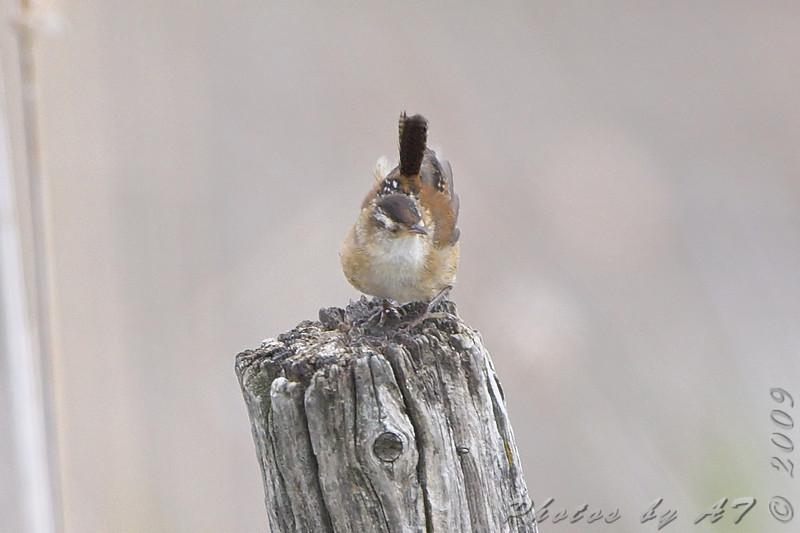 Marsh Wren <br /> North Dakota