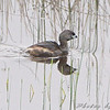 Pied-billed Grebe <br /> North Dakota