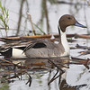 Northern Pintail <br /> North Dakota