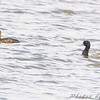 Greater Scaup <br /> North of Steel along the Horsehead and Chase lake Loop <br /> North Dakota