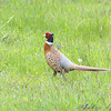 Ring-necked Pheasant <br /> North of Steel along the Horsehead and Chase lake Loop <br /> North Dakota