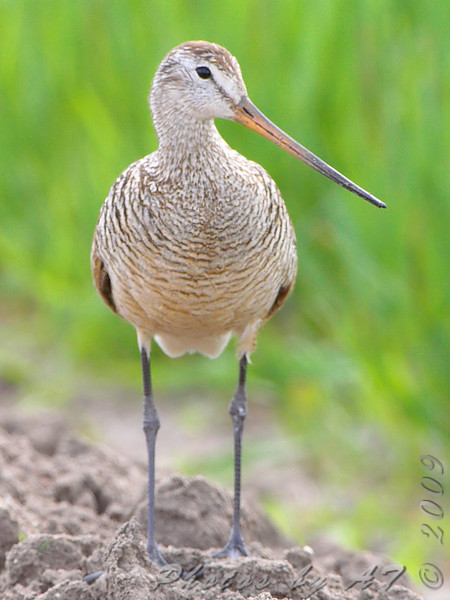 Marbled Godwit<br /> North of Steel along the Horsehead and Chase lake Loop <br /> North Dakota