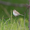 Clay-colored Sparrow <br /> North of Steel along the Horsehead and Chase lake Loop <br /> North Dakota