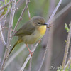 Common Yellowthroat female<br /> North of Steel along the Horsehead and Chase lake Loop <br /> North Dakota