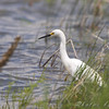 Snowy Egret <br /> North of Steel along the Horsehead and Chase lake Loop <br /> North Dakota