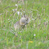 Prairie Dog <br /> North of Steel along the Horsehead and Chase lake Loop <br /> North Dakota