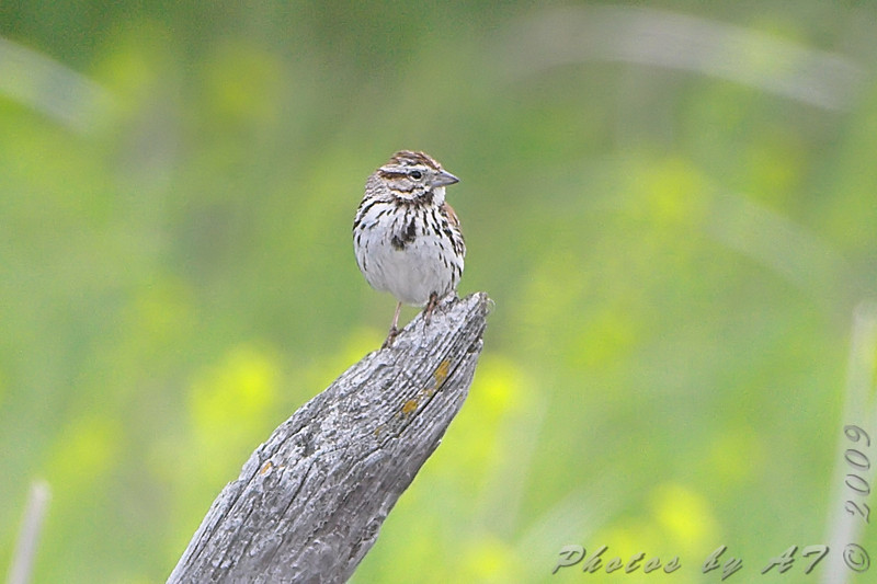 ? Song Sparrow ? <br /> North of Steel along the Horsehead and Chase lake Loop <br /> North Dakota