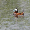 Ruddy Duck <br /> North of Steel along the Horsehead and Chase lake Loop <br /> North Dakota
