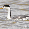 Clark's Grebe <br /> North of Steel along the Horsehead and Chase lake Loop <br /> North Dakota