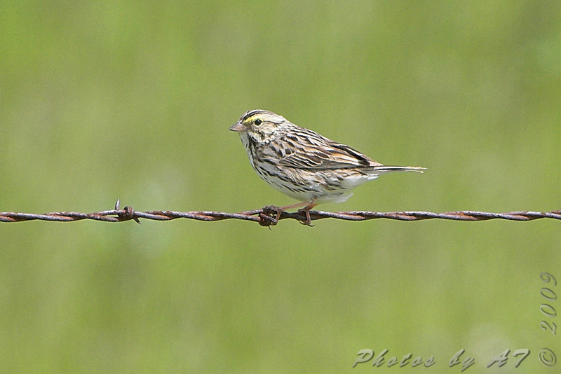 ? Savannah Sparrow ? <br /> North of Steel along the Horsehead and Chase lake Loop <br /> North Dakota