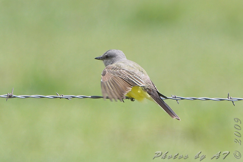 Western Kingbird <br /> North of Steel along the Horsehead and Chase lake Loop <br /> North Dakota