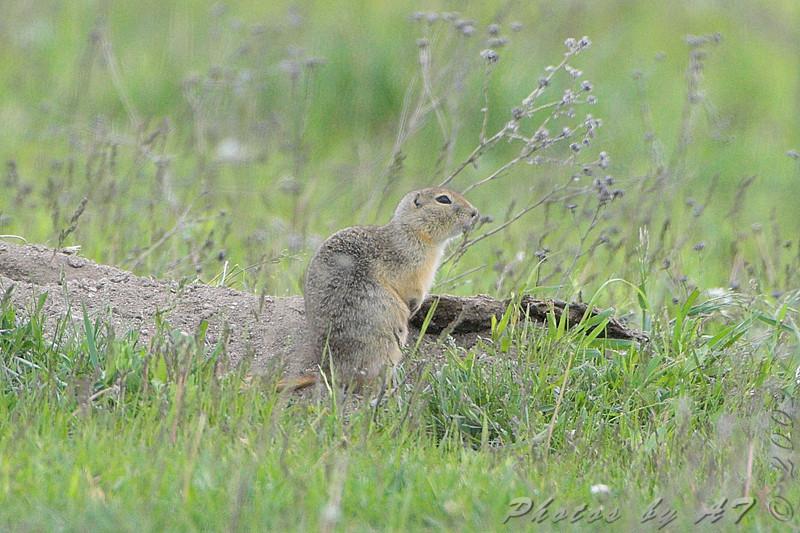 Prairie Dog <br /> North of Steel along the Horsehead and Chase lake Loop <br /> North Dakota