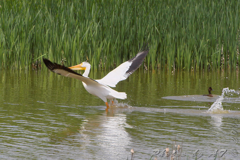 American Pelican <br /> North of Steel along the Horsehead and Chase lake Loop <br /> North Dakota