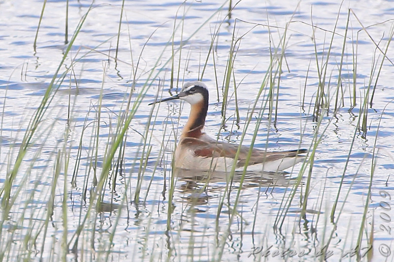 Wilson's Phalarope <br /> North of Steel along the Horsehead and Chase lake Loop <br /> North Dakota