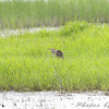 American Bittern <br /> 1st sited at a distance <br /> South of Steel at the Long Lake NWR <br /> North Dakota