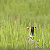 Ring-necked Pheasant <br /> South of Steel at the Long Lake NWR <br /> North Dakota