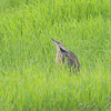 American Bittern <br /> Moved closer <br /> South of Steel at the Long Lake NWR <br /> North Dakota