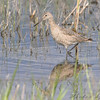 Willet <br /> South of Steel at the Long Lake NWR <br /> North Dakota