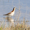 Wilson's Phalarope <br /> South of Steel at the Long Lake NWR <br /> North Dakota