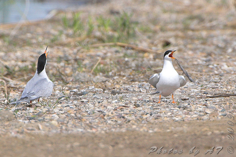 Forster's Tern <br /> South of Steel at the Long Lake NWR <br /> North Dakota